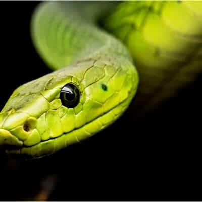 imagen de una serpiente cuyo veneno es mortal